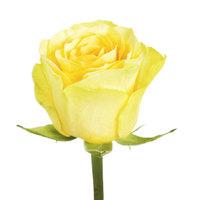"""Роза желтая """"Илиос"""""""