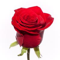 "Роза красная ""Престиж"""