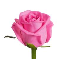 """Роза розовая """"Аква"""""""
